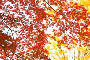 楓の紅葉.jpg